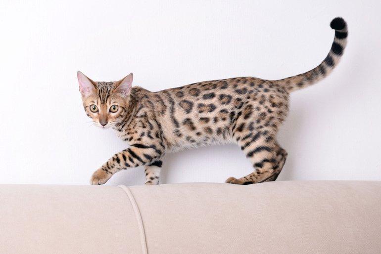 Die Bengalkatze: Leoparden für das Wohnzimmer