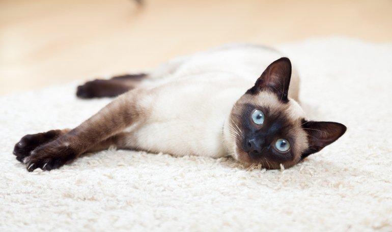 Die Siamkatze: Elegante Tempelherrin mit eigenem Kopf