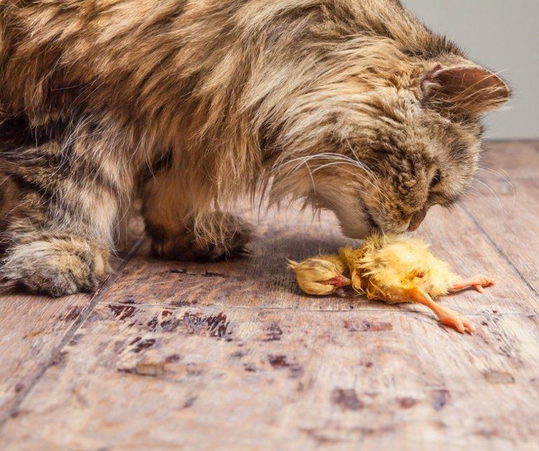 Katzen BARFen, eine artgerechte und naturnahe Ernährung